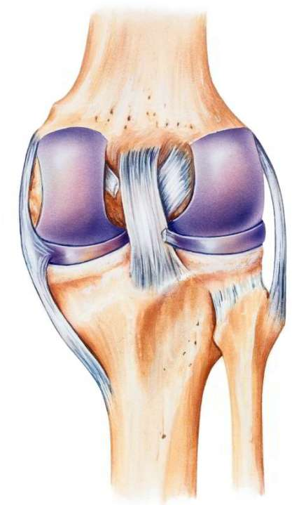 Anatomy of the knee with cruciate ligaments, medial and lateral collateral ligament