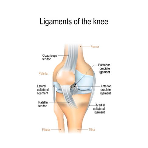 Ligaments of the knee